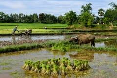 Thailändsk bonde med buffeln Arkivfoto