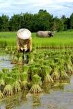 Thailändsk bonde med buffeln Royaltyfri Fotografi