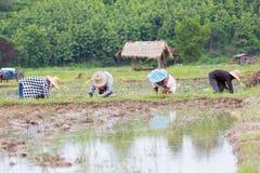 Thailändsk bonde som arbetar på risfältet Arkivbilder