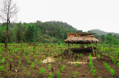 Thailändsk bonde som förlägga i barack i risfält Arkivbilder