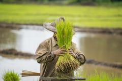 Thailändsk bonde som planterar ris i lantgården Arkivbilder