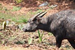 Thailändsk buffaro Arkivfoton