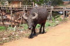 Thailändsk buffaro Royaltyfria Foton