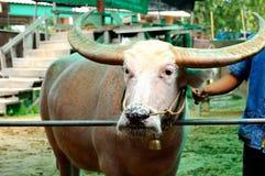 Thailändsk buffel Royaltyfri Bild