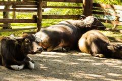 Thailändsk buffel Arkivbild
