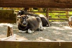 Thailändsk buffel Royaltyfri Foto