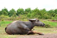 Thailändsk buffel Royaltyfria Foton