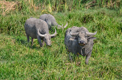 Thailändsk buffel i gräsfält Arkivfoto