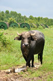 Thailändsk buffel i mud arkivbilder