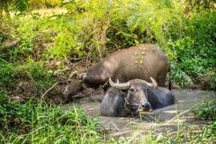 Thailändsk buffel i träsket royaltyfri fotografi