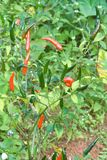 Thailändsk chilitree som är agriculteral i organisk lantgård Royaltyfri Foto