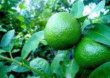 Thailändsk citron Fotografering för Bildbyråer