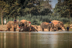 Thailändsk elefant Royaltyfri Foto