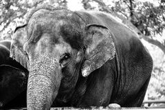 Thailändsk elefant, asia royaltyfri fotografi
