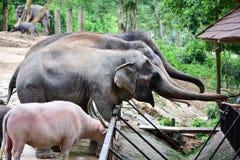 Thailändsk elefant, asia fotografering för bildbyråer