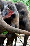Thailändsk elefant, asia arkivbild