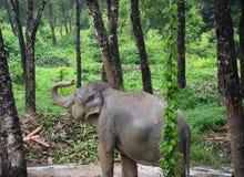 Thailändsk elefant i skogfotobilden arkivfoton