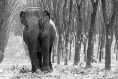 Thailändsk elefant på det Kanchanaburi landskapet, Thailand Fotografering för Bildbyråer