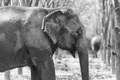 Thailändsk elefant på det Kanchanaburi landskapet, Thailand Arkivbilder