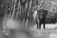 Thailändsk elefant på det Kanchanaburi landskapet, Thailand Royaltyfri Foto