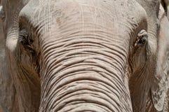 Thailändsk elephan i Plubished Songkhla den naturliga zooen Arkivfoton