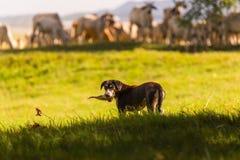 Thailändsk fårhund med flocken av kon i naturbakgrund Den thailändska hunden är Arkivbilder