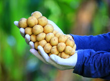 Thailändsk fruktgrupp av Lanzones eller längtan förestående Arkivbilder