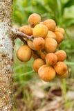 thailändsk fruktgrupp för langkong av Lanzones eller längtande thailändsk frukt Royaltyfria Bilder