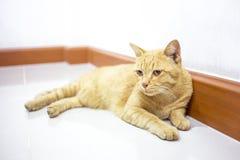 Thailändsk gul katt Fotografering för Bildbyråer