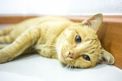 Thailändsk gul katt Arkivbilder