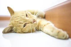 Thailändsk gul katt Royaltyfri Foto