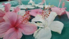Thailändsk hibiskus arkivbild