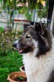 Thailändsk hund Royaltyfri Fotografi