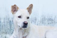 Thailändsk hund Arkivfoto
