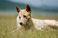 Thailändsk hund på det gröna gräset Royaltyfri Fotografi