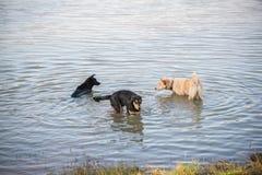 Thailändsk hundsimning i floden Arkivbilder