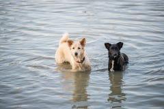 Thailändsk hundsimning i floden Arkivbild