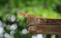 Thailändsk infödd ödla eller kameleont Arkivfoto