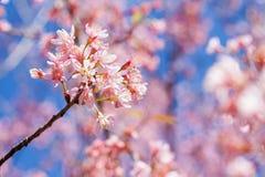 Thailändsk körsbärsröd blomning Royaltyfria Foton