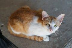 Thailändsk katt, djur Arkivbild