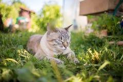 Thailändsk katt i gräset Arkivfoto