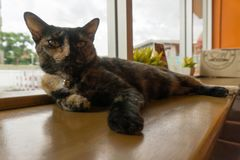 Thailändsk katt med läskiga ögon Royaltyfri Foto