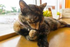 Thailändsk katt med läskiga ögon Fotografering för Bildbyråer
