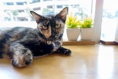 Thailändsk katt med läskiga ögon Arkivbilder
