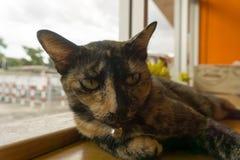 Thailändsk katt med läskiga ögon Arkivfoton