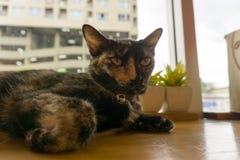 Thailändsk katt med läskiga ögon Arkivfoto