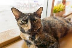 Thailändsk katt med läskiga ögon på trästång Royaltyfria Foton
