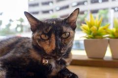 Thailändsk katt med läskiga ögon på trästång Royaltyfri Foto