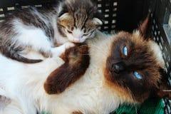 Thailändsk katt och kattunge fotografering för bildbyråer