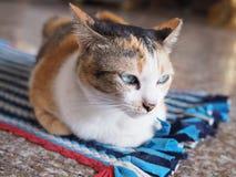 Thailändsk katt på matta royaltyfri bild